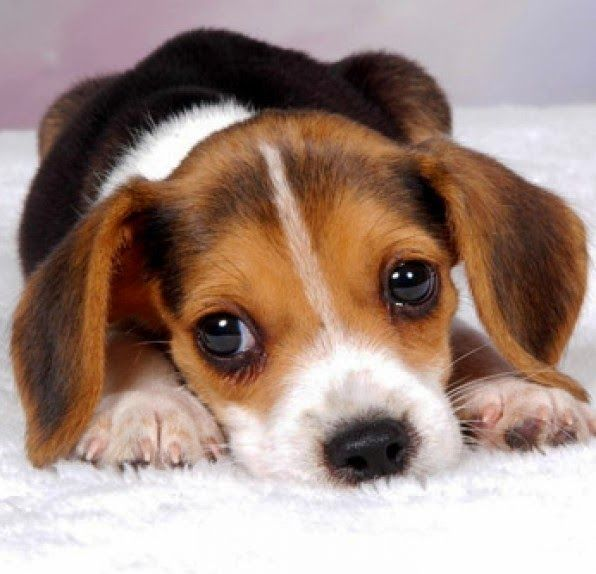 5 Interesting Facts About Beagles With Images Cute Beagles