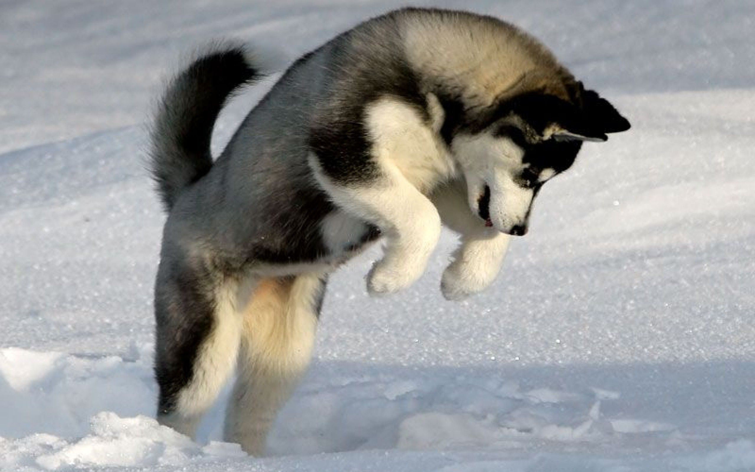 Free Husky Puppy Wallpapers Picture Siberian Husky Dog Dog
