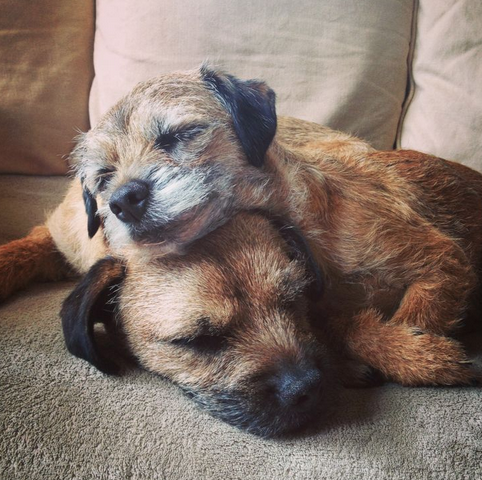 31 Reasons To Love Border Terriers & Their Scruffy Little