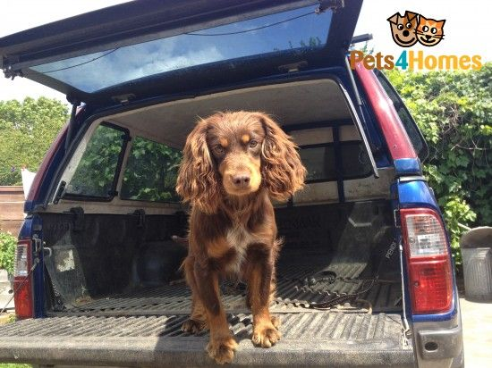 Chocolate Tan Working Cocker Spaniel For Stud Romford Essex Pets4homes Working Cocker Cocker Spaniel Sprocker Spaniel