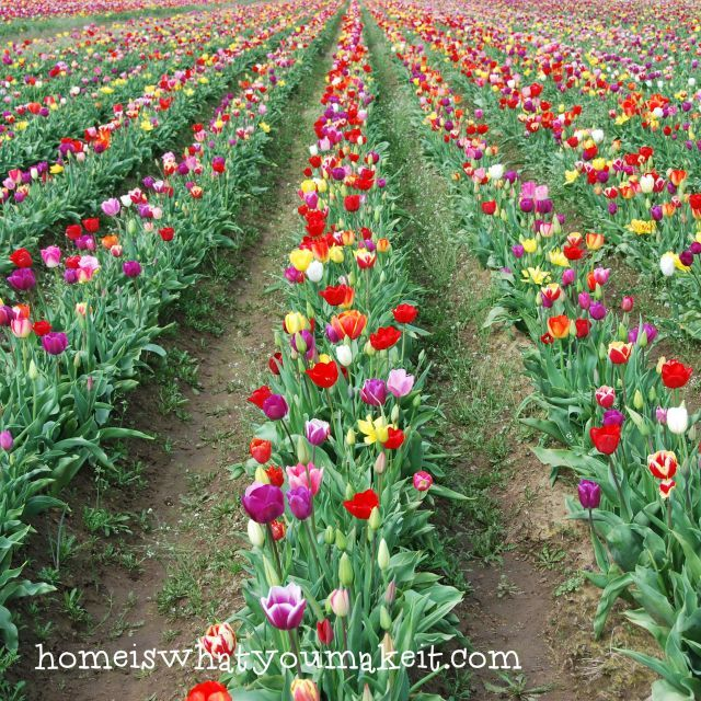 add more color than red for tulips in the front garden