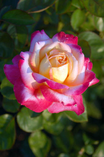 Tips on How to Use Epsom Salt for Beautiful Roses is part of Hybrid tea roses, Tea rose garden, Tea roses, Roses garden care, Planting roses, Beautiful roses - Roses are one of the most beautiful flowers that you can have in your garden, but they can also be difficult to grow  Insects love them, and they require a lot of care to thrive  The extra effort that is required for vibrant roses is well worth it, but there are a few tricks that will help you grow beautiful roses with ease  Epsom salt is known to be great for the body, but since it is composed of magnesium sulfate, it is actually a great tool that gardeners can use to create beautiful roses  How can Epsom Salt Benefit