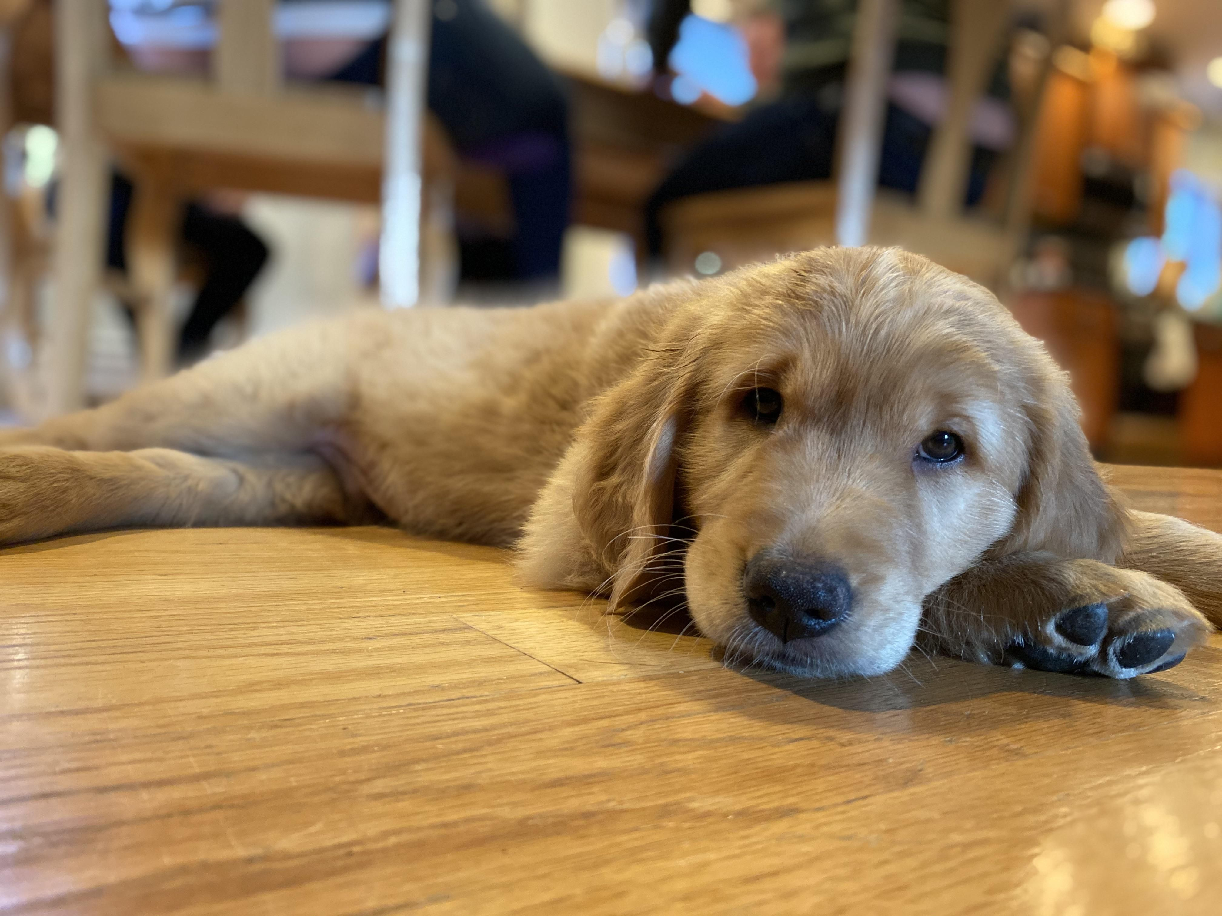My In Laws New Puppy Samson In 2020 Golden Retriever Puppies Rescue Dogs Training