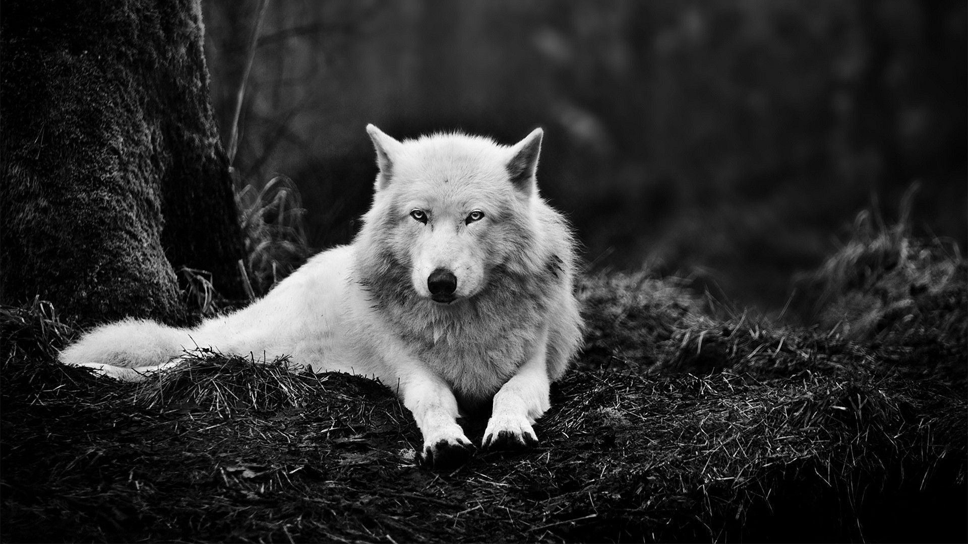 Обои волки. Животные foto 12