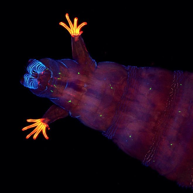 Fruit Fly Larvae. In other words, a maggot with jazz hands!