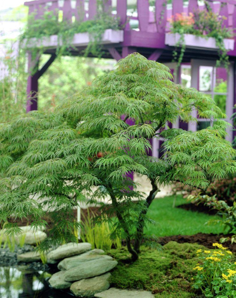 Schlitz Ahorn Acer Palmatum Var Dissectum Pflanzen Blumen