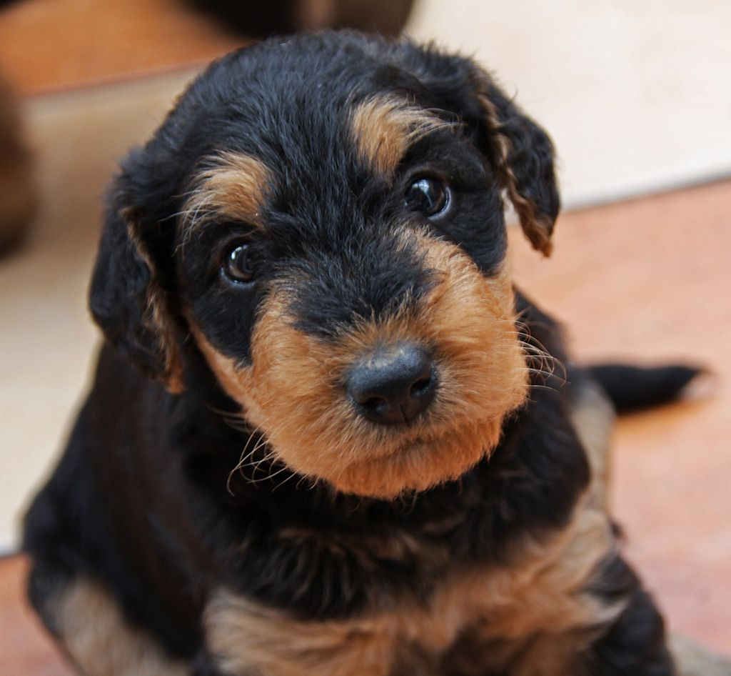 Miniature Airedale Terrier Puppies