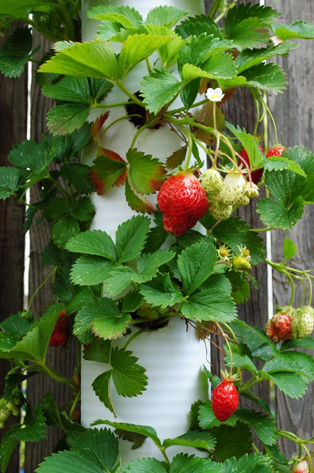 Garden Up! Take Your Landcape to the Next Level Strawberries in vertival PVC pipe