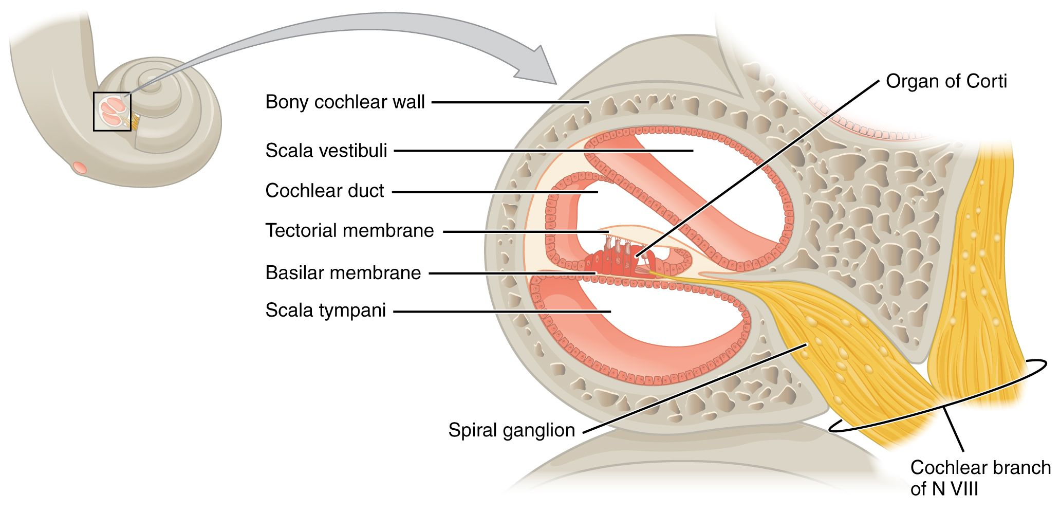 The Organ of Corti (organum spirale) is the sensory epithelium in ...