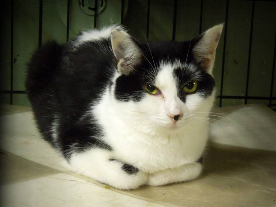 ADOPTED!! #LUNA is a female #Tuxedo urgently in need of #rescue or adoption from the #Pocahontas County Animal Shelter in #Marlinton, #WV. For rescue info email: asapwva@gmail.com