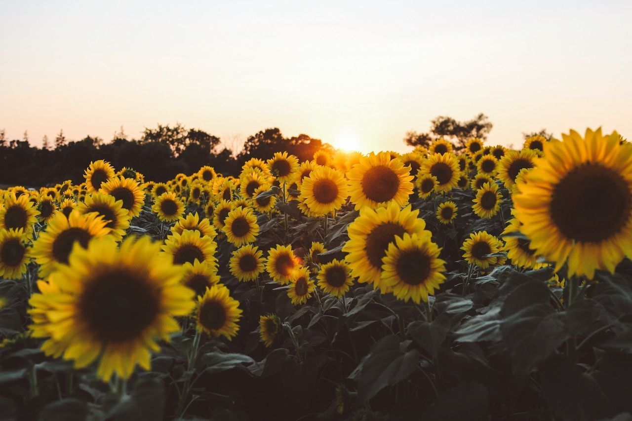 Download Sunflower Backgrounds Yellow Aesthetic Laptop