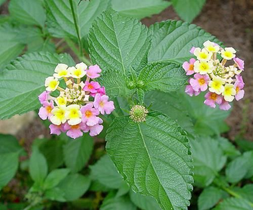 """Miss Huff"" Lantana. Marlo and I bought some today."