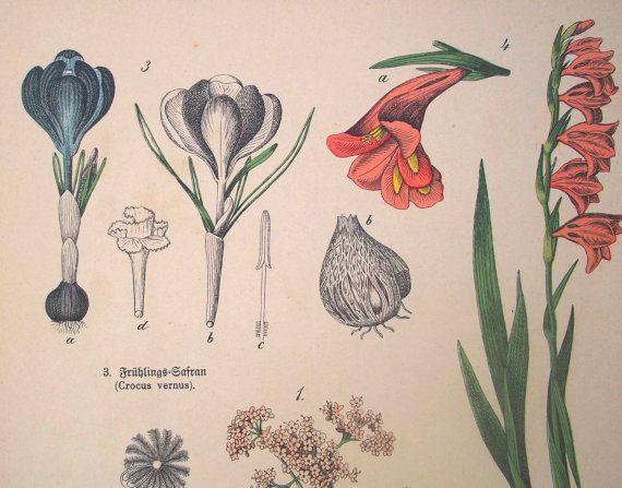 Botanica1887.Grabado en color.Doble página. CastafioreOldPrints en Etsy,