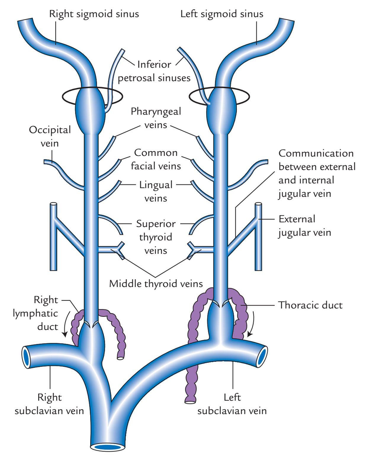 Internal Jugular Vein Tributaries Anatomy Pinterest Anatomy