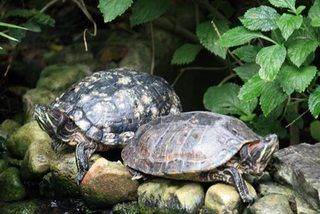 How To Inexpensively Build An Outdoor Habitat For Red Slider