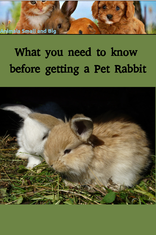 What You Need To Know Before Getting A Pet Rabbit In 2020 Pet Rabbit Pets Animals