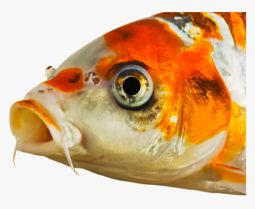 Koi Fish Eyes Png Download Eyes Of Koi Fish Transparent Png Is Free Transparent Png Image To Explore More Similar Hd Image On Koi Carp Fish Koi Fish Fish