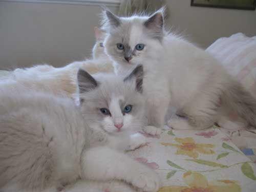 Toledo Oh Ragdoll Breeder Kittens For Sale Supurr Ragdolls Kittens Cutest Ragamuffin Cat Kittens