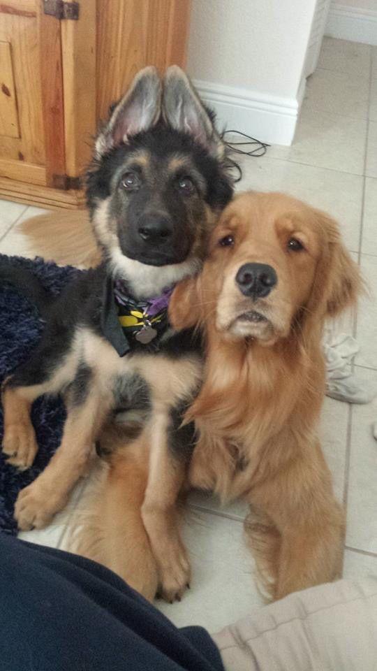 Gsd Golden Best Friends Weird Animals German Shepherd Dogs