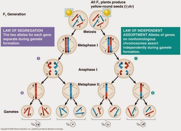 Image Result For Law Of Segregation And Independent Assortment Meiosis Genetics Pharmacy Technician