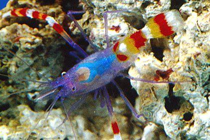 Coral Banded Shrimp Tennessee Aquarium Tennessee Aquarium Sea Creatures Fish Pet