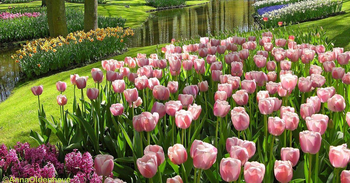 23 Indah Pemandangan Mp3 Berkas Bunga Tulip Di Hutan Kota Jpg Wikipedia Bahasa Download Indah Nya Pemandangan Dj Mp3 Ga Bunga Tulip Bunga Menggambar Bunga