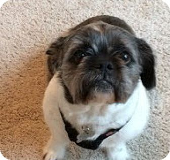 Cedar Rapids Ia American Bulldog Shih Tzu Mix Meet Hazel A