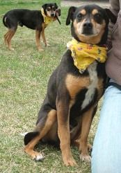 So Cute He Is A Manchester Terrier Minpin Mix He Looks Just Like