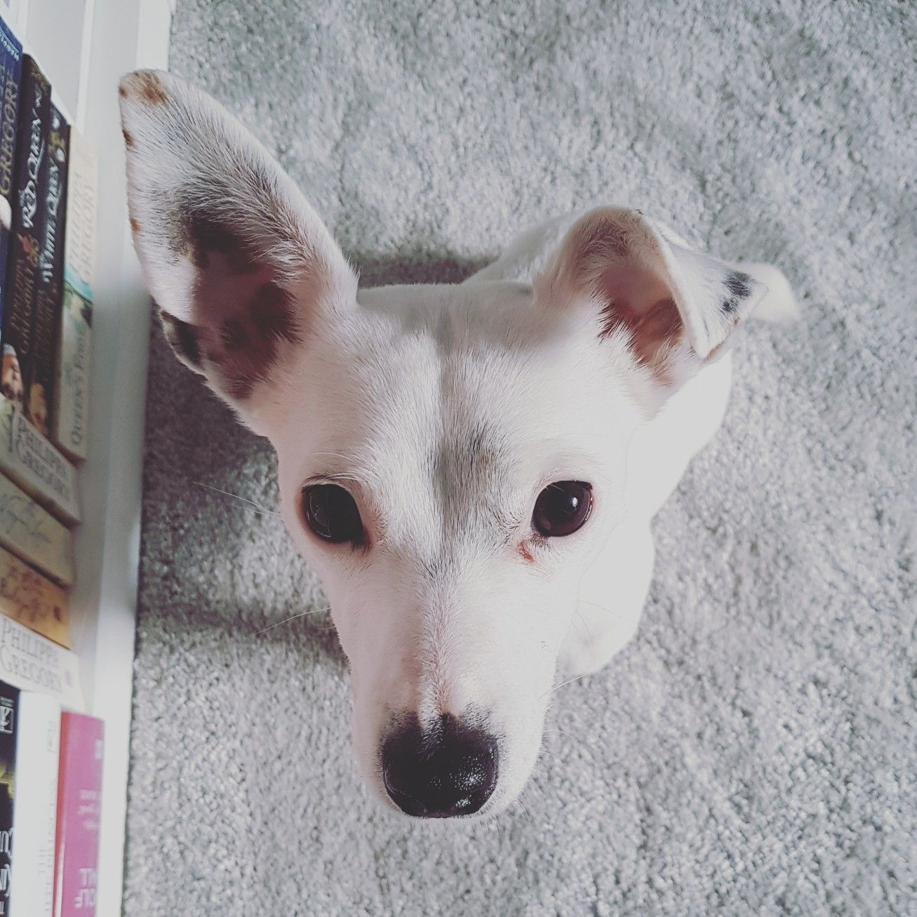 Image By Megan Smith On Jakies Jack Russell Jack Russell