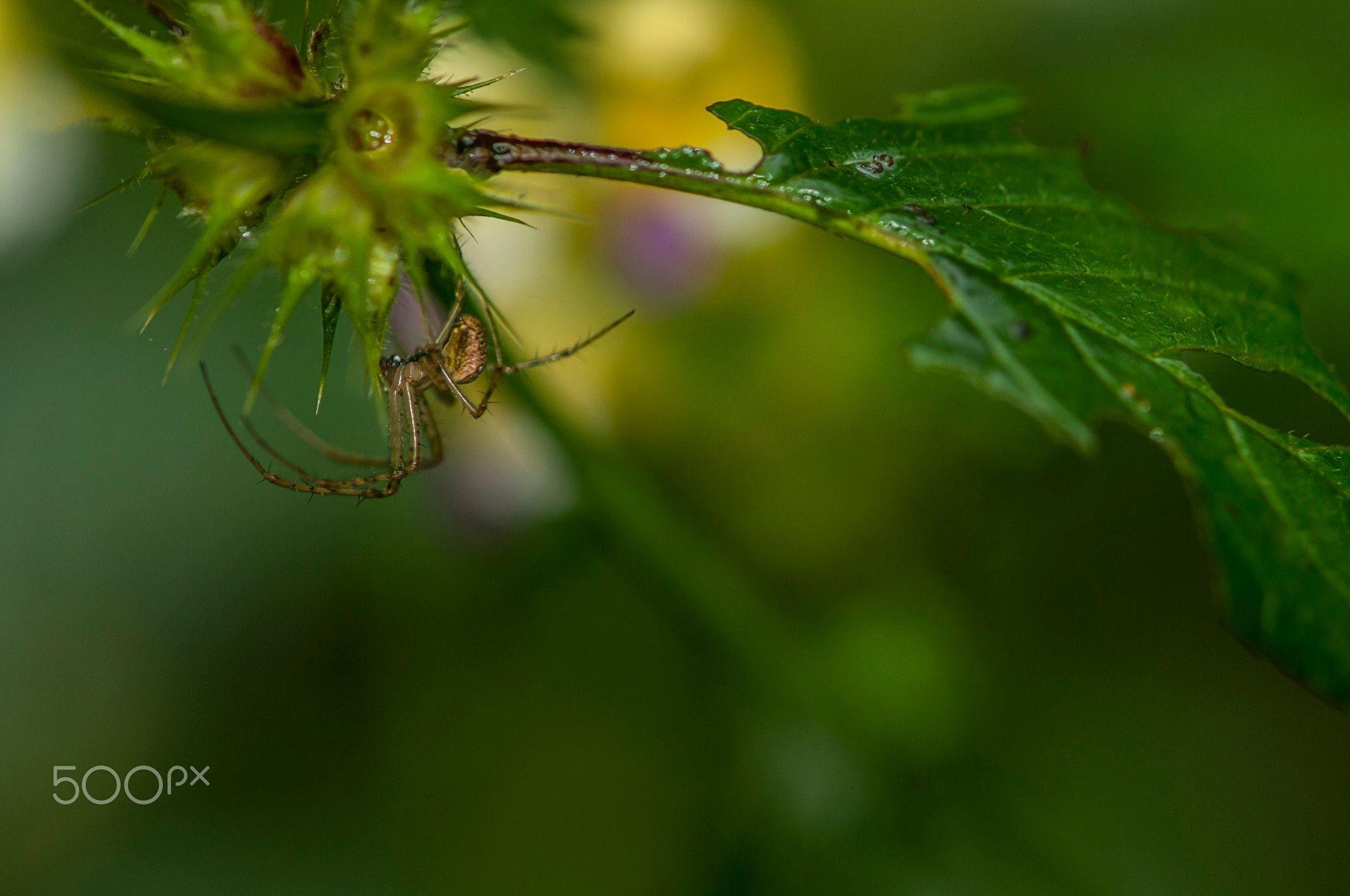 Spinne -