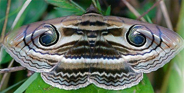 Spirama Retorta The Indian Owlet Moth Of The Erebidae Family Found In China Korea Japan India Nepal Bangladesh Thaila Moth Butterfly Chrysalis Butterfly