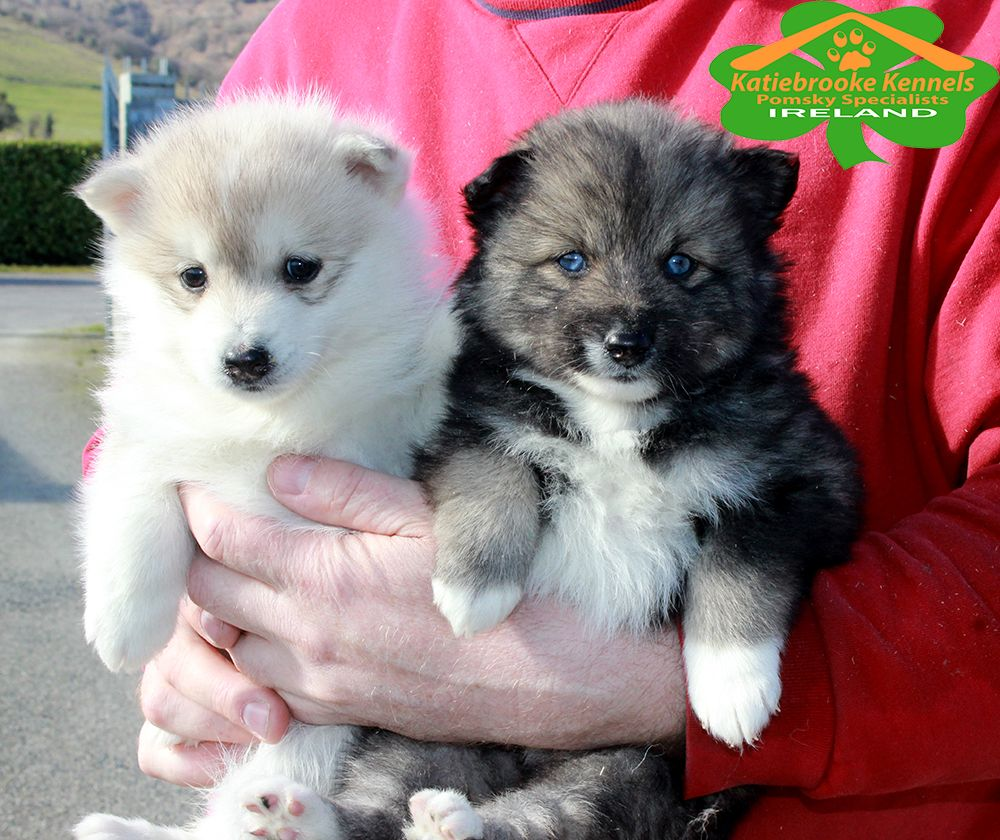 Katiebrooke Kennels Pomsky Specialists Ireland Jimmie And Nicholas Pomsky Brothers X Jimmie 1000 Uk 1200 Europe Brown Eyes Ni With Images Pomsky Puppies Puppies Pomsky