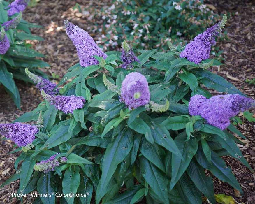 Buddleia Pugstera Amethyst Butterfly Bush Container Plants