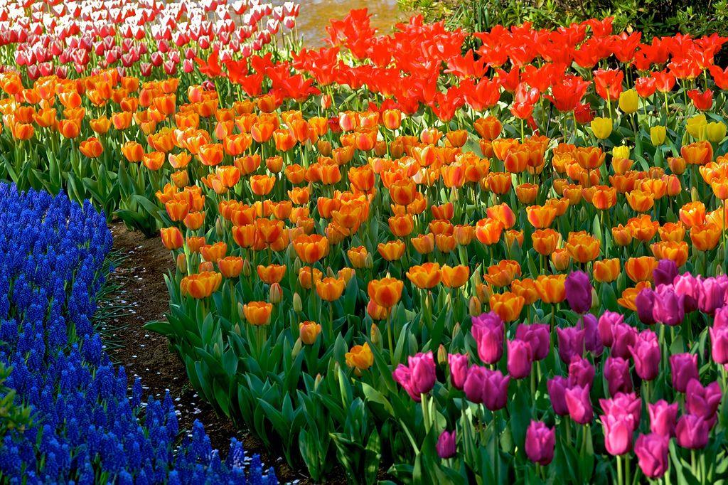 Amooooooo!!!!!!!!!! Meu sonho é ver um campo cheinho de tulipas coloridíssimas!