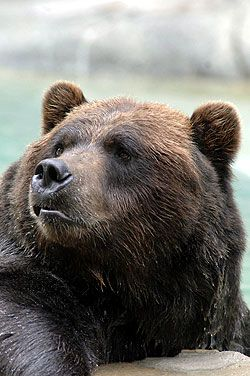 Grizzly-bear-250.aspx 250×376 pixels