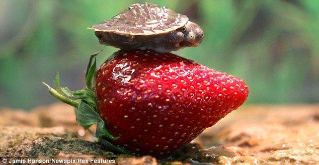 baby turtle vs strawberry