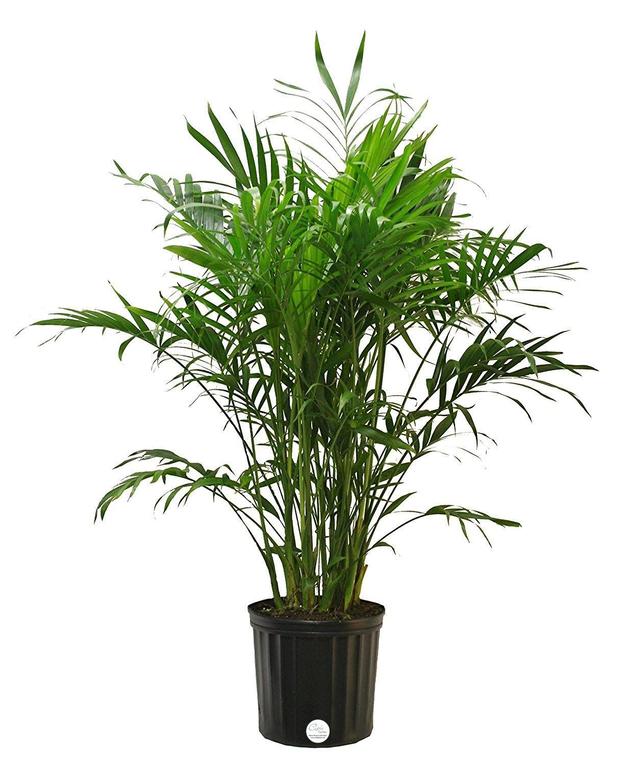 Costa farms cat palm live indoor floor plant in 875inch