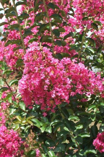 lagerstroemia indica 'rose fuchsia' - lilas des indes 'rose