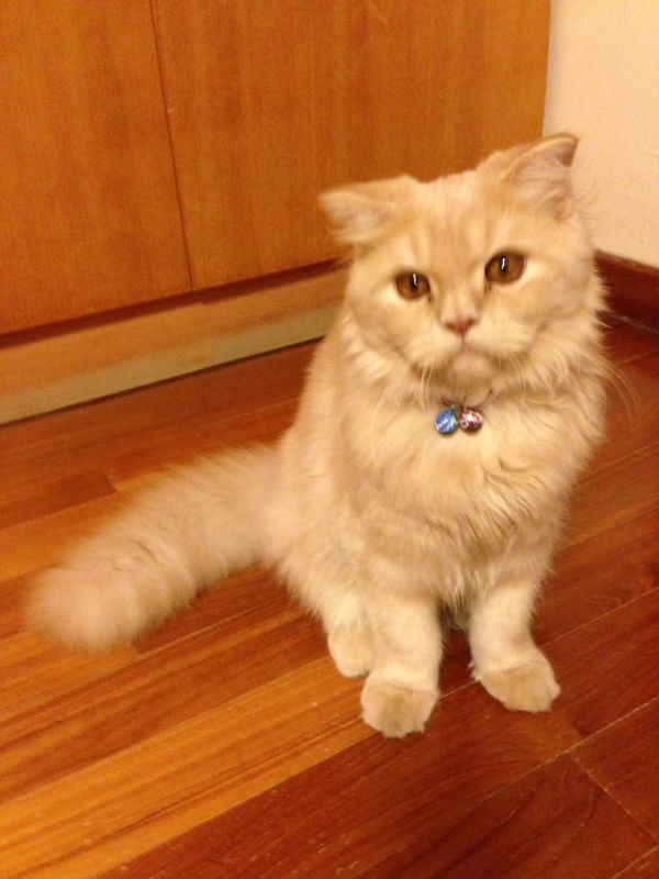 Name Of Pet Brownie Breed Scottish Fold Persian Cat Color Ginger Color With Brown On The Back Gender Male Ag Cat Colors Persian Cat Doll Face Persian Cat