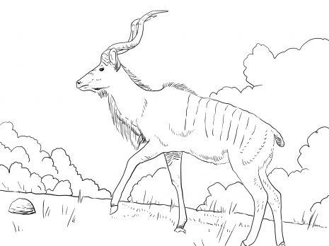 Male Greater Kudu Favorite Horse