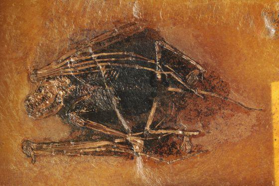 La melanina coloreó a los animales del pasado