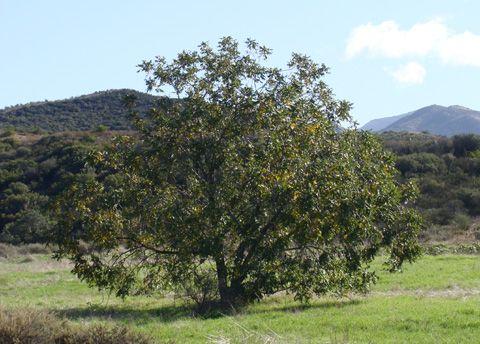 Image result for juglans californica