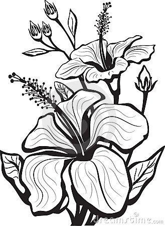 Hibiscus Royalty Free Stock Photo Image 8754095 Hibiscus Flower Drawing Flower Drawing Flower Sketches