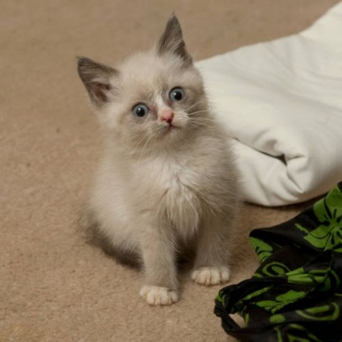 Lunar Siamese Has A Litter Of Four Colorpoint Kittens Available Description From Newwestminster Nicepetsonline Com I Searched For This Pet Breeds Pets Birman