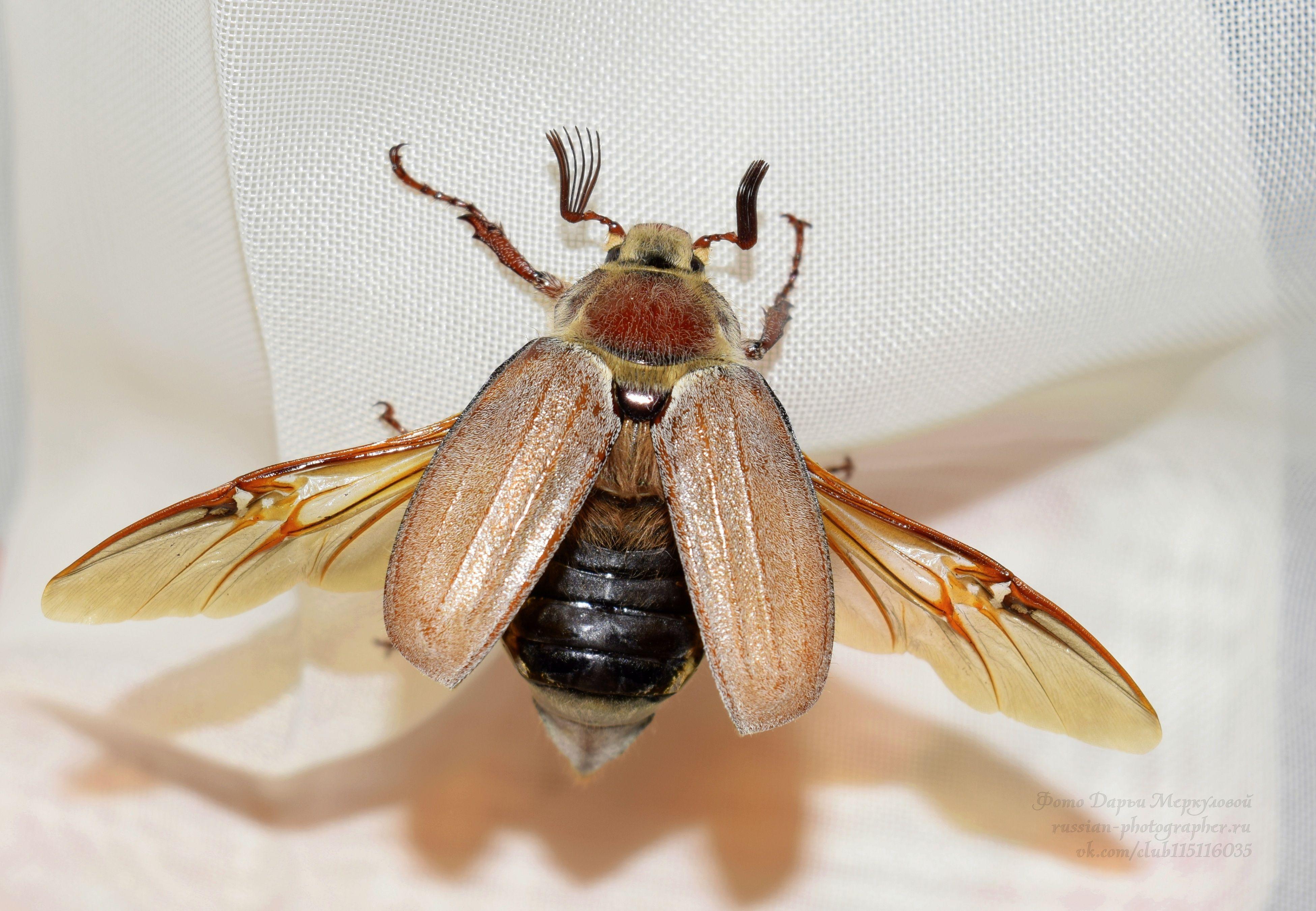 Животный Мир. Russia, beetle, nature, macro, animal, world