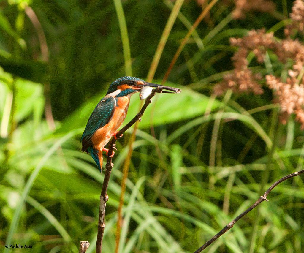 Common Kingfisher in Khao Sok National Park Wildlife
