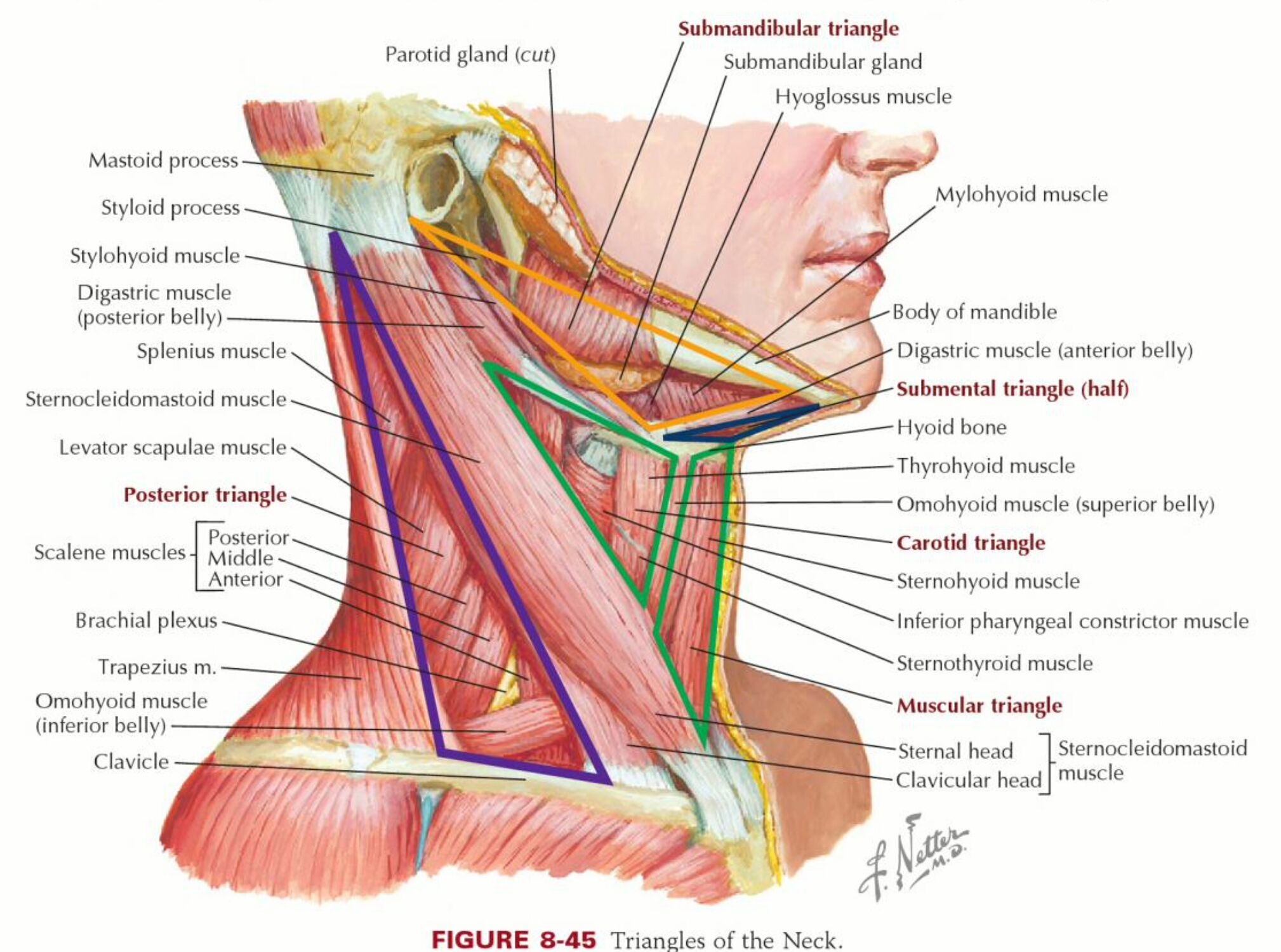Sternocleidomastoid Muscle Origin And Insertion  Google Search