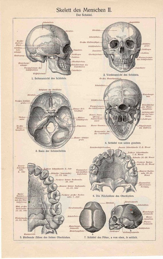 1894 skeleton human original antique anatomy lithograph print - side ...