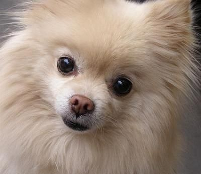 Pomeranian Dog Breed Info Pictures Petmd Pets Pinterest
