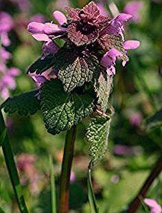Purpurrote Taubnessel - Kostbare Natur